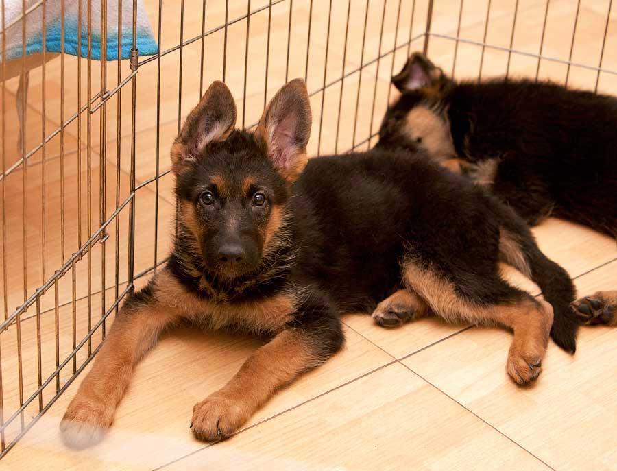 щенок овчарки 2 месяца фото